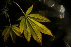 Hojas de la marijuana en la oscuridad Fotografía de archivo libre de regalías