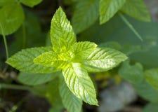 Hojas de la menta verde Fotografía de archivo libre de regalías
