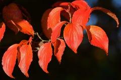 Hojas de la naranja del otoño con el fondo negro Imagen de archivo libre de regalías