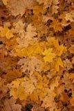 Hojas de la naranja del otoño del grupo del fondo Imagenes de archivo