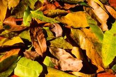 Hojas de la naranja del otoño del grupo del fondo outdoor Imágenes de archivo libres de regalías