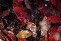 Hojas de la naranja del otoño del grupo del fondo Imagen de archivo libre de regalías
