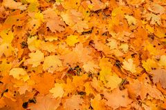 Hojas de la naranja del otoño del grupo del fondo outdoor Foto de archivo libre de regalías