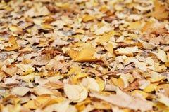 Hojas de la naranja del otoño del grupo del fondo outdoor Pasto amarillo del arce Fotos de archivo