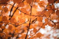 Hojas de la naranja en un árbol en otoño fotos de archivo libres de regalías