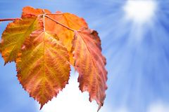Hojas de la naranja sobre el cielo azul foto de archivo libre de regalías