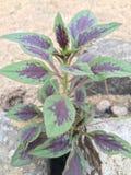 Hojas de la púrpura y del verde Imagen de archivo