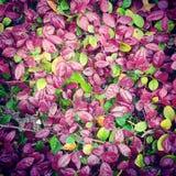 Hojas de la púrpura y del verde Fotos de archivo