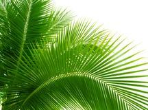 Hojas de la palma Fotografía de archivo libre de regalías