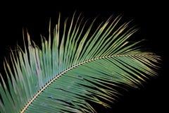 Hojas de la palmera Imágenes de archivo libres de regalías
