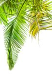 Hojas de la palmera en blanco imagen de archivo libre de regalías