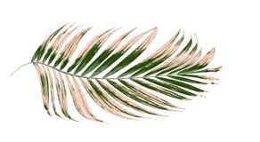 Hojas de la palmera en el fondo blanco fotografía de archivo libre de regalías