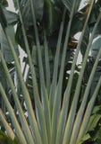 Hojas de la palmera y fondo verde oscuro tropicales del follaje imágenes de archivo libres de regalías