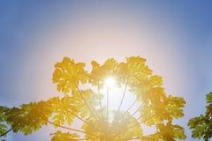 Hojas de la papaya contra el cielo brillante Fotografía de archivo libre de regalías