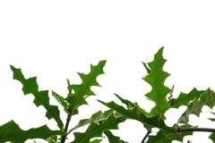 Hojas de la planta de agua con las ramas en el fondo aislado blanco para el contexto verde del follaje fotos de archivo