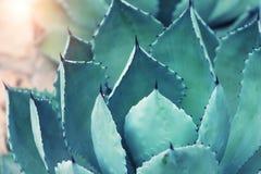 Hojas de la planta del agavo Imagen de archivo libre de regalías