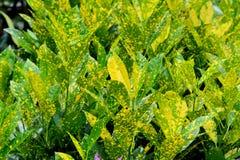 Hojas de la planta del Zingiberaceae Imágenes de archivo libres de regalías