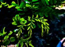 Hojas de la planta de Moringa foto de archivo libre de regalías