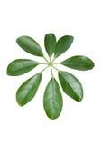 Hojas de la planta tropical Foto de archivo libre de regalías