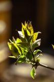 Hojas de la primavera Fotos de archivo