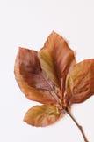 Hojas de la primavera de la haya roja - todavía vida imágenes de archivo libres de regalías