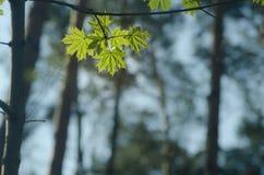 Hojas de la primavera en bosque fotos de archivo