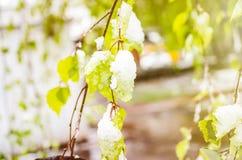 Hojas de la primavera en el abedul en nieve Fotografía de archivo libre de regalías