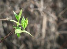 Hojas de la primavera en un fondo natural Imagenes de archivo