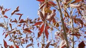 Hojas de la primavera roja Foto de archivo libre de regalías