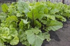 Hojas de la remolacha y hojas verdes de la lechuga Foto de archivo