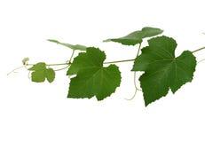 Hojas de la uva Fotografía de archivo libre de regalías