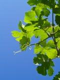 Hojas de la uva Imagenes de archivo