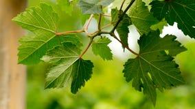 Hojas de la uva. Imagenes de archivo