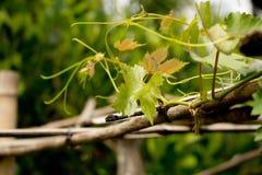 Hojas de la uva. Imagen de archivo libre de regalías
