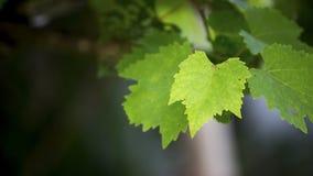 Hojas de la uva Imagen de archivo libre de regalías