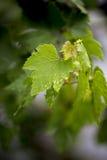 Hojas de la uva Imagen de archivo