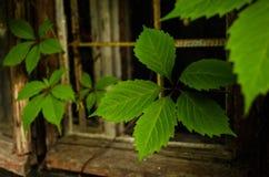 Hojas de la uva Foto de archivo