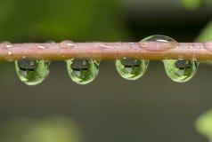 Hojas de la uva catched en waterdrops Imagen de archivo