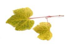 Hojas de la uva del otoño Imagenes de archivo