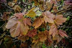 Hojas de la uva en Inglaterra Foto de archivo