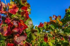 Hojas de la uva en la vid Imagenes de archivo