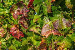 Hojas de la uva en la vid Fotos de archivo