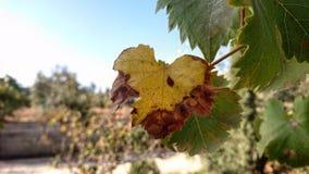 Hojas de la uva en primavera Fotos de archivo libres de regalías