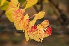 Hojas de la uva que cambian colores en caída Imagenes de archivo
