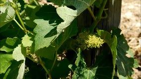 Hojas de la uva que crecen al aire libre almacen de video