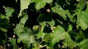 Hojas de la uva que crecen al aire libre almacen de metraje de vídeo