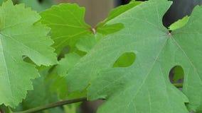 Hojas de la uva que se sacuden en el viento en verano metrajes