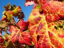 Hojas de la uva roja Fotos de archivo libres de regalías