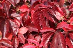Hojas de la uva roja en otoño Fotos de archivo libres de regalías