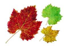 Hojas de la uva verde, amarilla y roja fotos de archivo